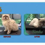 Simba Before & After Groom