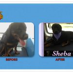 Sheba Before & After Groom